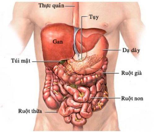 Kết quả hình ảnh cho cơ quan trong ổ bụng