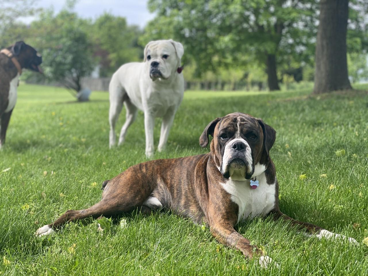 A group of dogs in a grassy field  Description automatically generated with low confidence