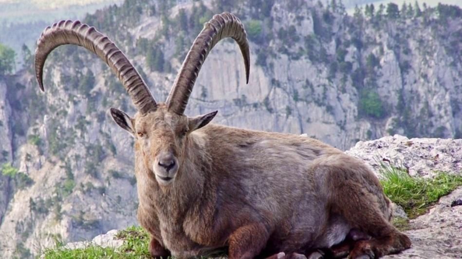 Image result for pyrenean ibex extinct