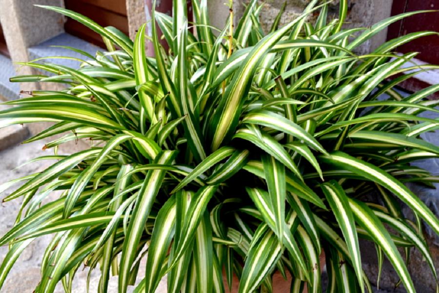 zielistka domowa roślina