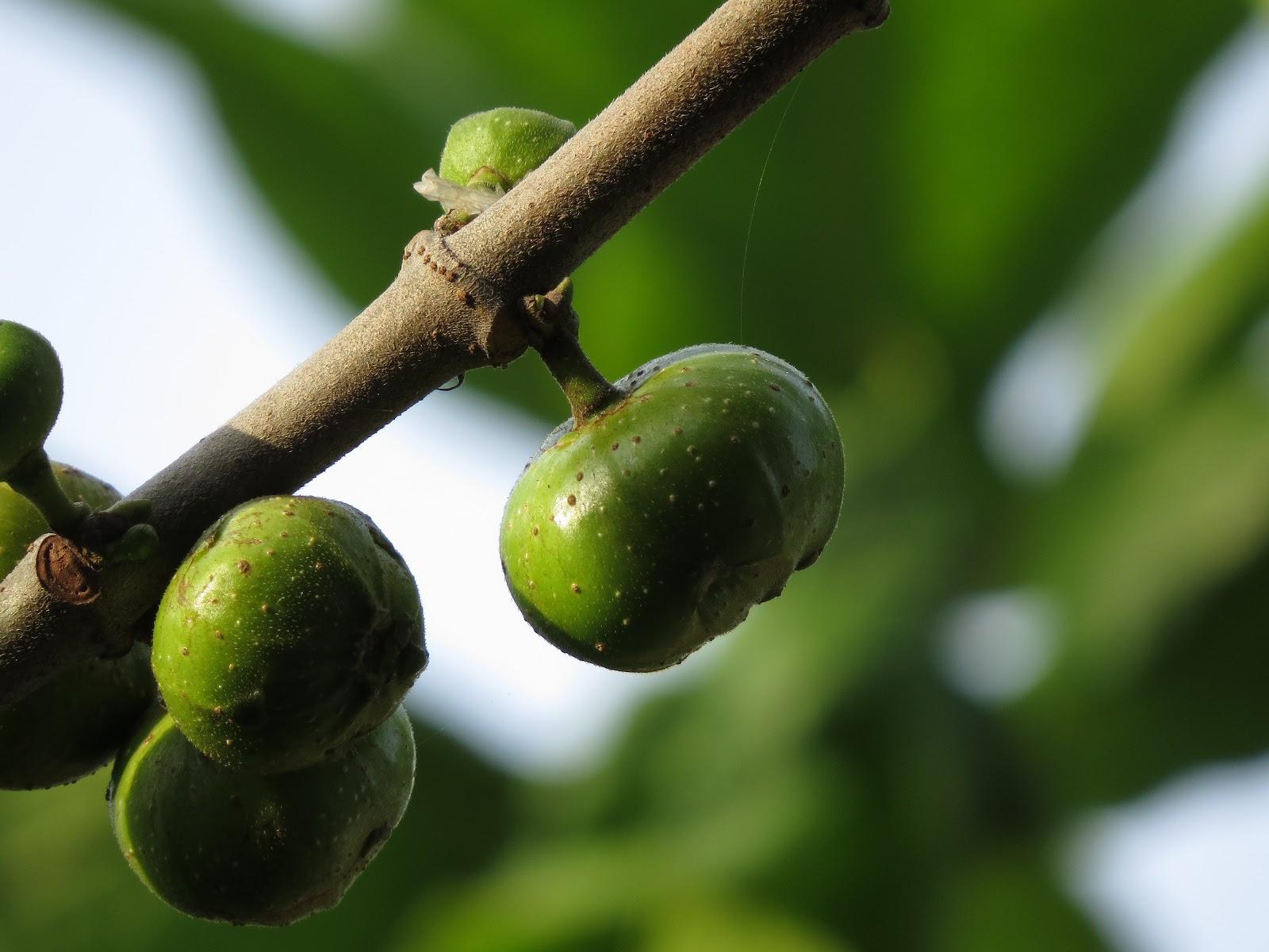 Tập tin:Ficus - racemosa.JPG – Wikipedia tiếng Việt