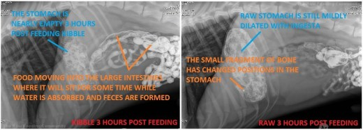 Figure 8. Cranial view of abdomen 3 hours post feeding a kibble (left) and a raw (right) meal.