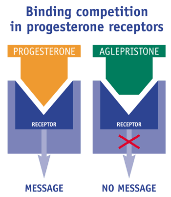 Binding competition between progesterone and aglepristone for the progesterone receptors and consequences.