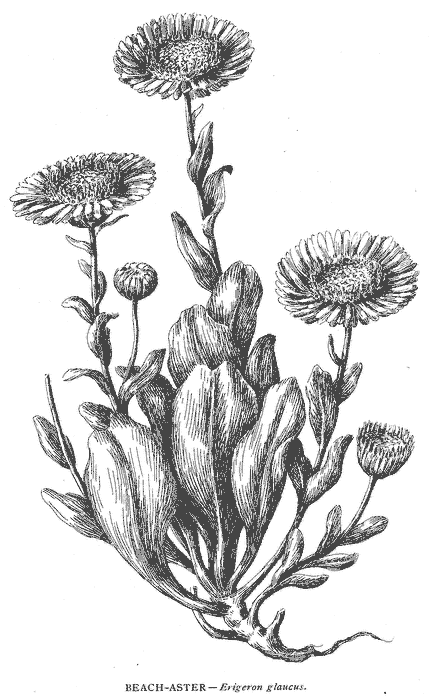 Image result for erigeron glaucus drawing