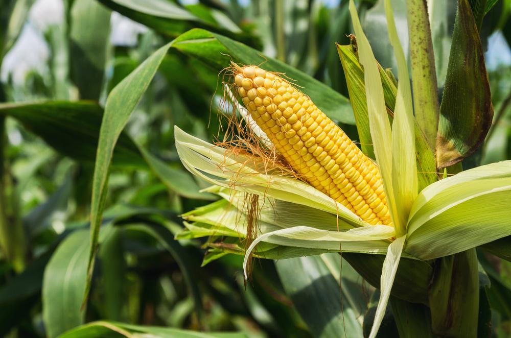 """O cultivo do milho deve ser a principal """"vítima"""" do clima durante os próximos meses. (Fonte: Shutterstock/lovelyday12/Reprodução)"""