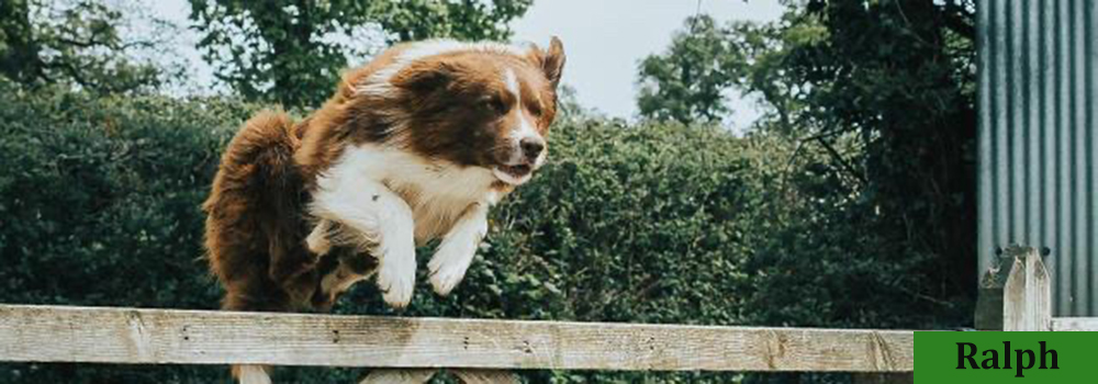 Ralph is an amazing sheep dog at Yellingham Farm B&B, their character on the farm.