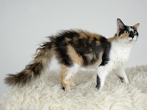 https://upload.wikimedia.org/wikipedia/commons/e/e1/Laperm_LH_blacktortie_white.jpg