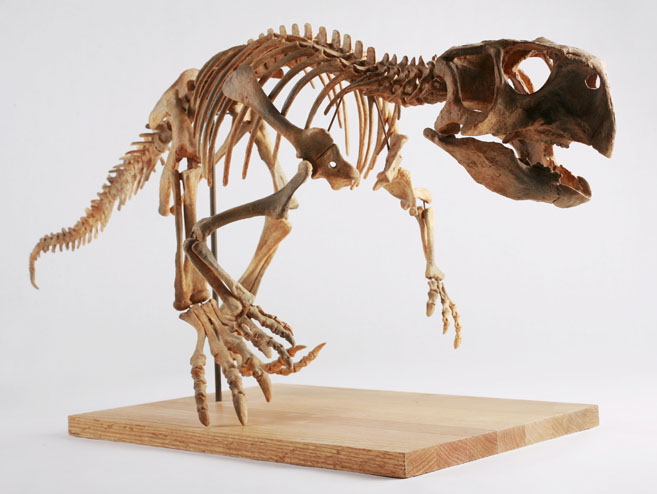 The_Childrens_Museum_of_Indianapolis_-_Psittacosaurus_skeleton_cast.jpg