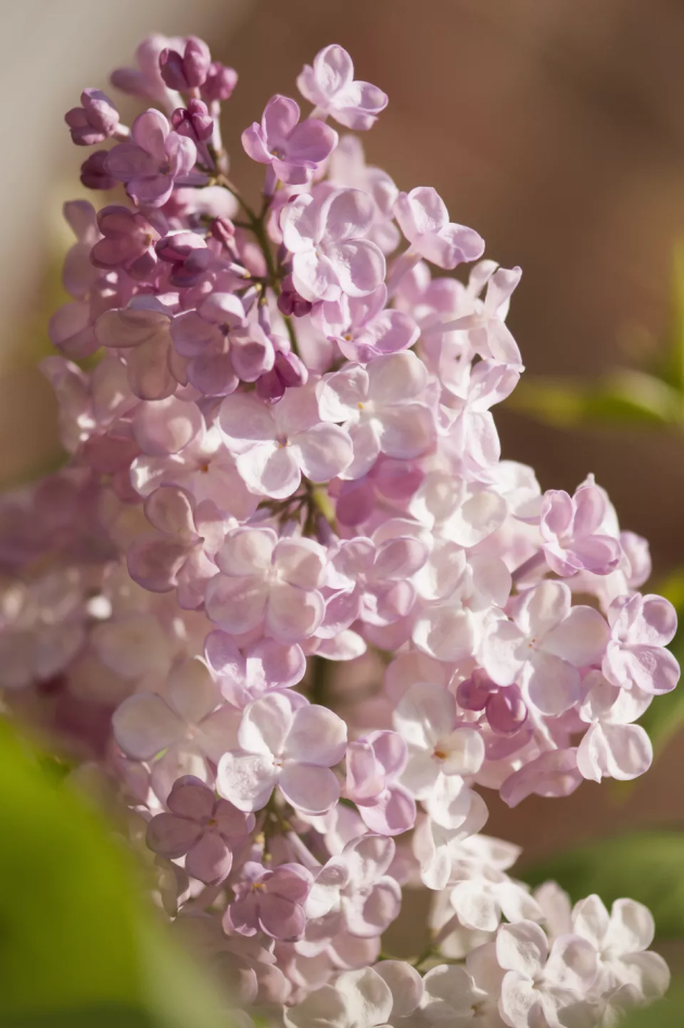 Your Guide to Growing & Caring for Lilac Bushes 7