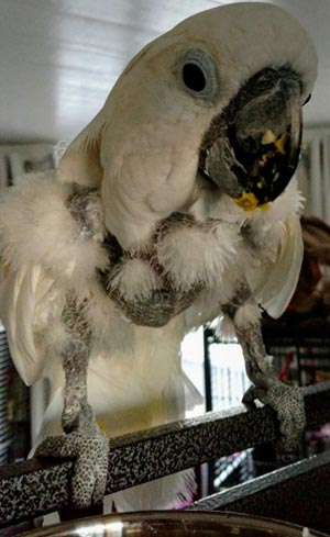 Ragged feathers and feather loss in a cockatoo as a result of picking, poor growth, poor skin condition, and poor feather growth from malnutrition.