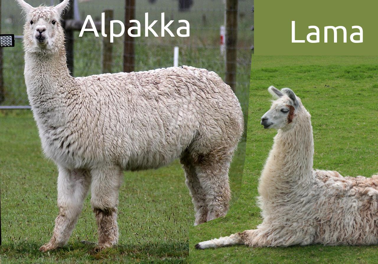 Forskjellen mellom alpakka og lama, alpakka, lama, alpakka garn, alpakka fiber