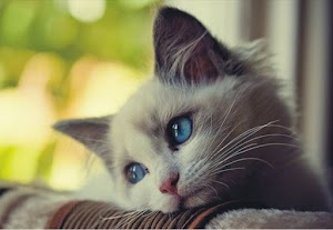 What are the Symptoms of congestive heart failure in cats