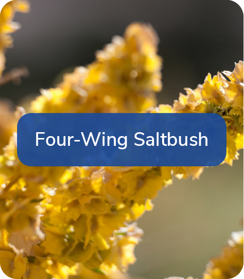 four wing saltbush
