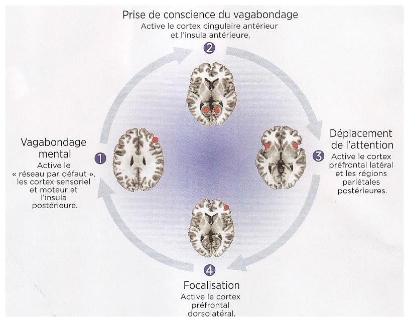 Les quatre phases du cerveau qui médite