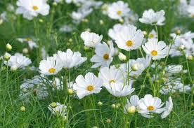 Macintosh HD:Users:sarinavetterli:Desktop:Plant and Granola Sale:Plant Images:Cosmos white.jpg