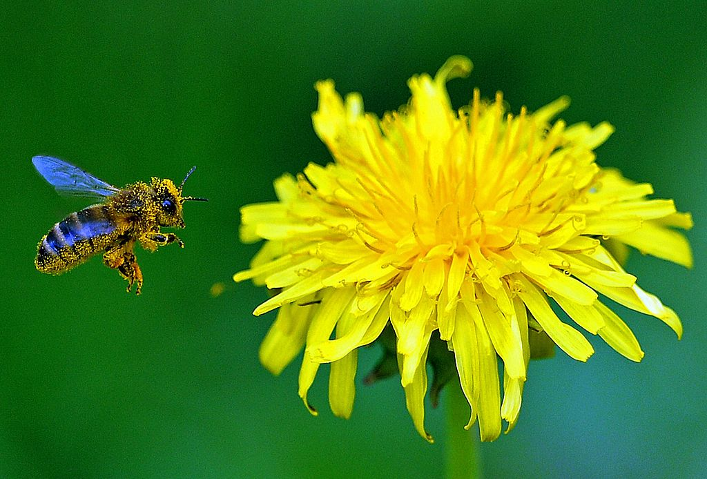A bee flies next to a dandelion flower on a spring day on April 21, 2014 in Popielarze near Warsaw. These underestimated wild edibles are traditional in Italian cuisine.