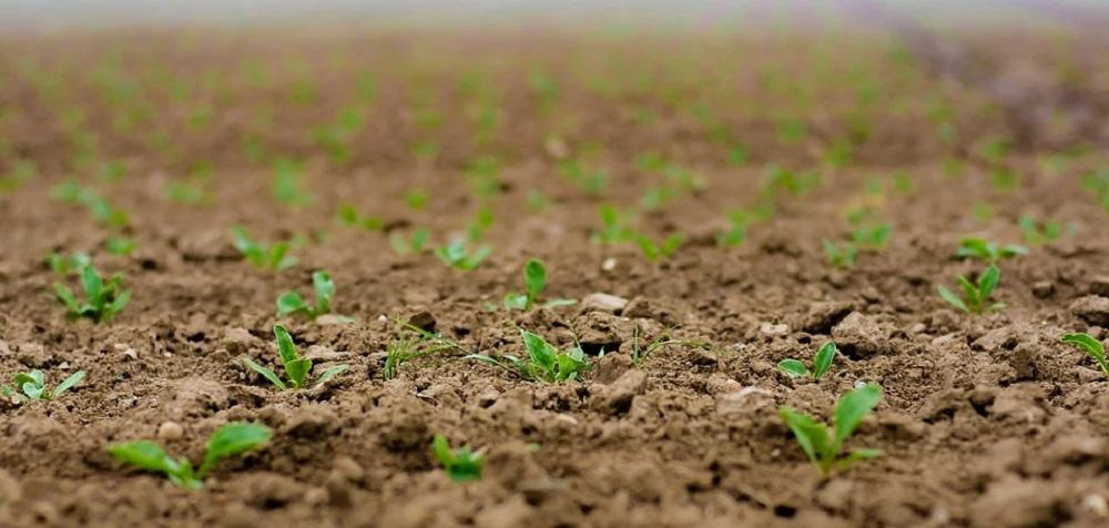 Plantação com brotos de alfarroba