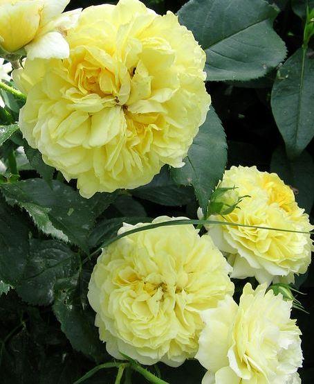 роза  YELLOW BUTTON