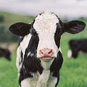 снится корова