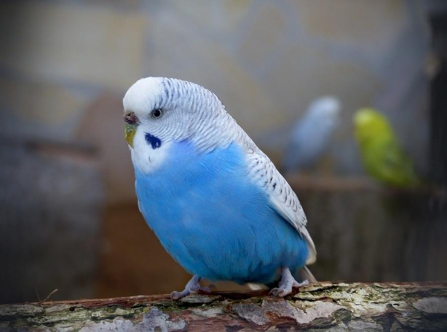 21 Things You Should Know Before You Buy a Budgie – PetsGetStarted