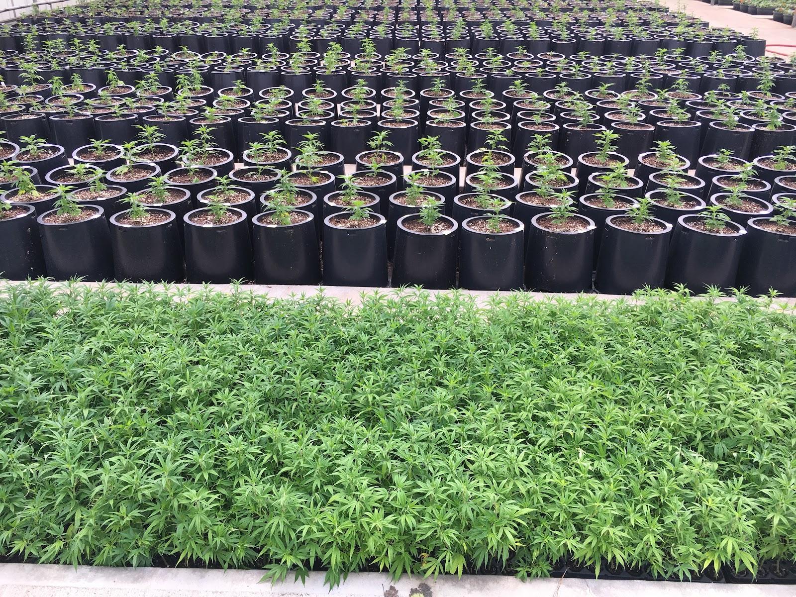 CBG Hemp Plants