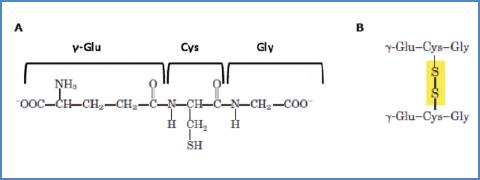 Representation of A) reduced glutathione (GSH), and B) glutathione disulfide (oxidized, GSSG) (Martínez-Sámano, 2011).