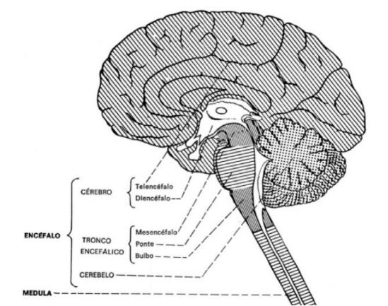 Cérebro e outros componentes do SNC