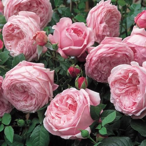 Rose 'Spirit of Freedom' : buy Rose 'Spirit of Freedom' / Rosa Spirit of  Freedom