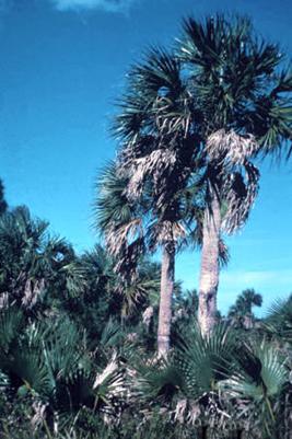 Florida State Tree: Sabal Palmetto Palm