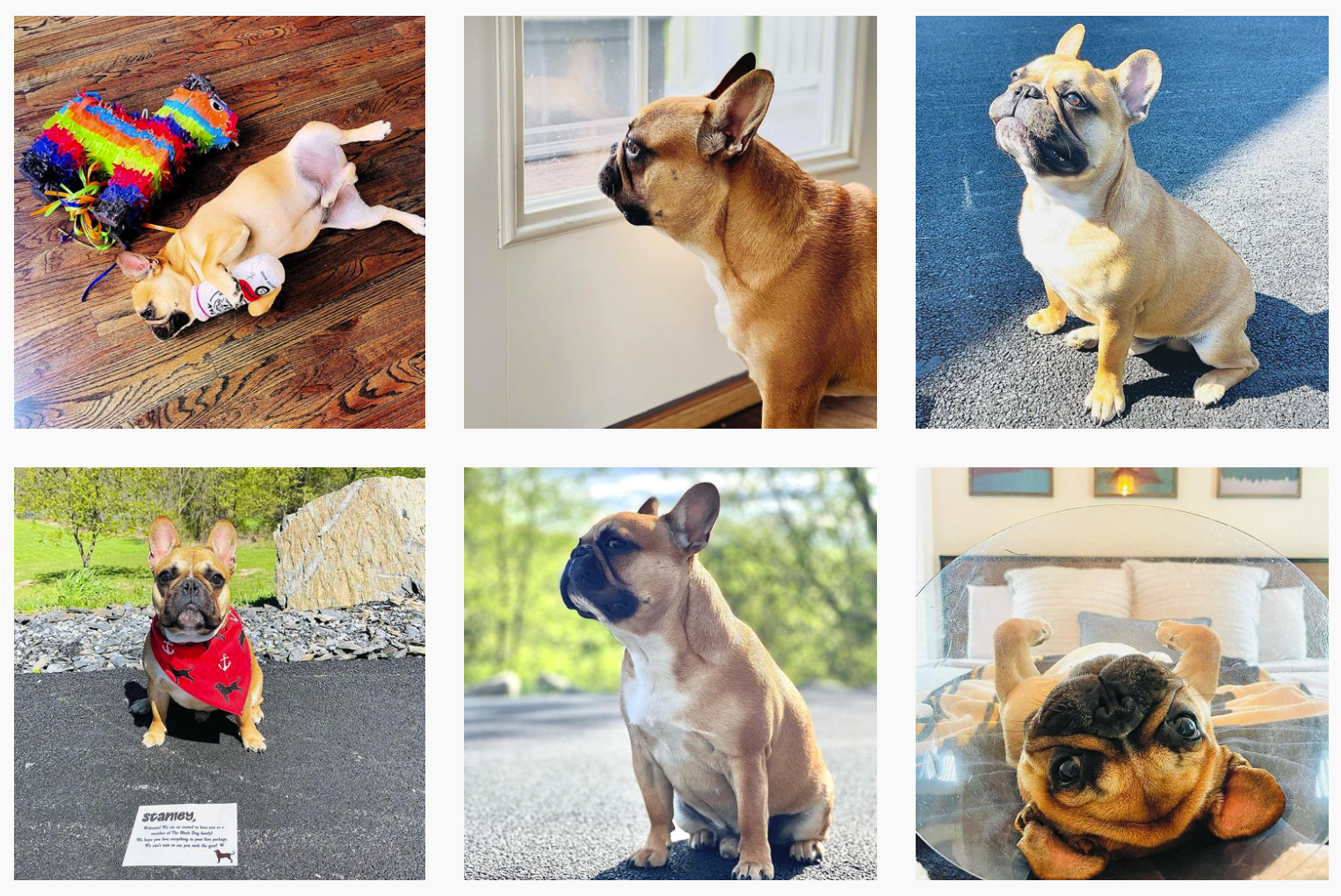 That Pup Stanley | Pet Influencers Featured on Afluencer