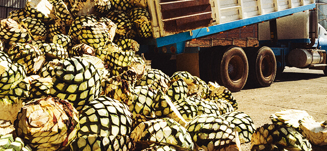Agave Is The Key Ingredient In Making Mezcal