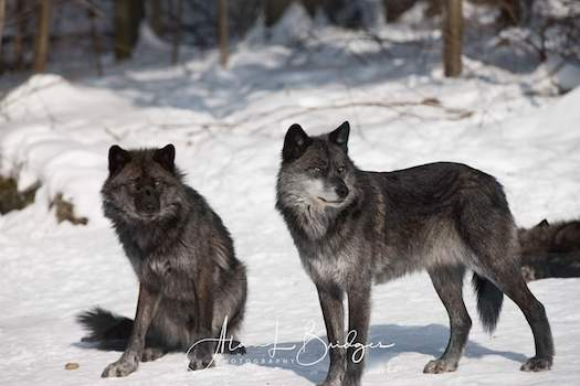 3 Things You Didn't Know About Wolf Behavior