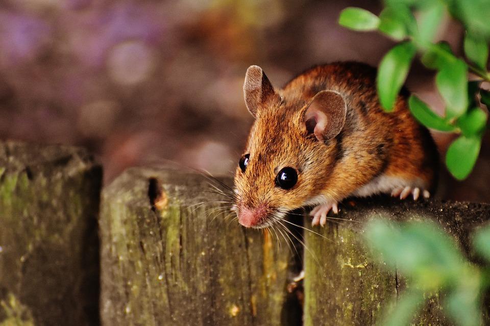 mice removal.jpg