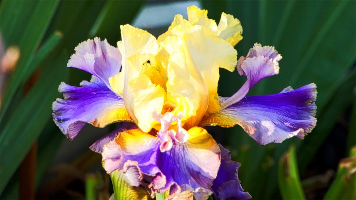 Deep Sea Iris.jpg