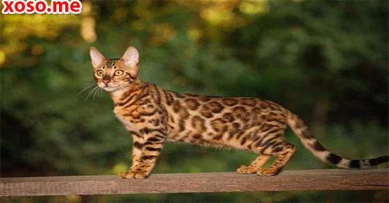 Điềm báo trong giấc mơ mèo rừng