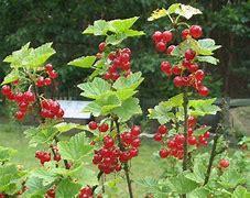 Obraz znaleziony dla: czerwoen porzeczki w ogrodzie