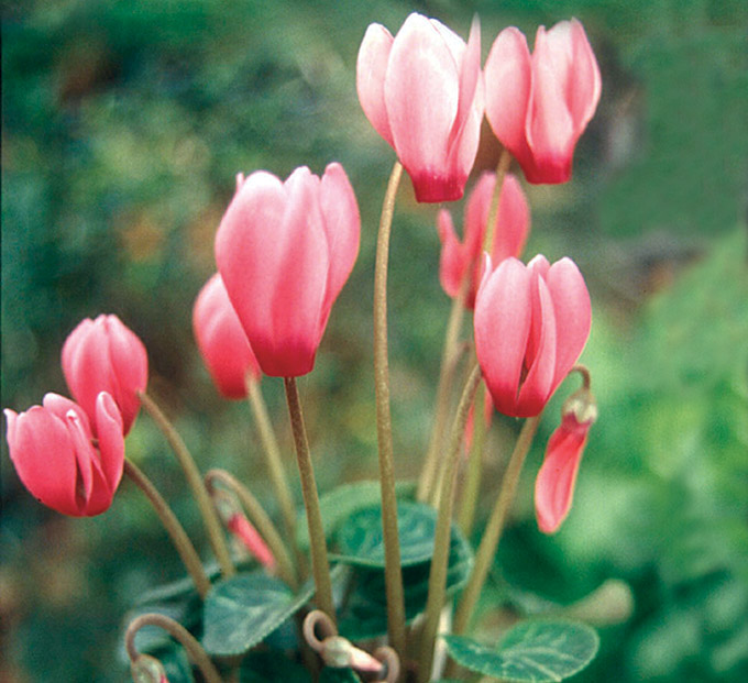 Cyclamen persicum flowers.
