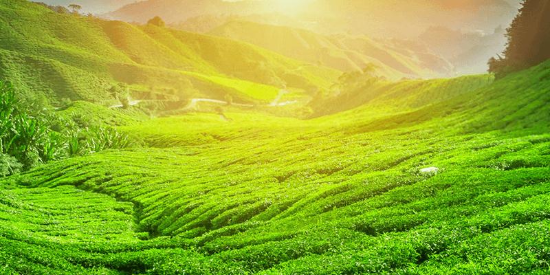 Chikmaglur coffee gardens