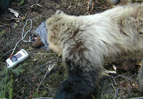 Grizzly bear with pulse oximeter probe in place