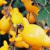 Cà vú nàng Nipple Fruit  SOL00037