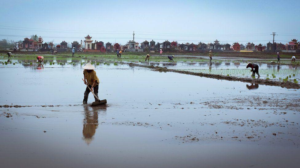 Фермеры в Тьен Хай рассаживают на полях рис