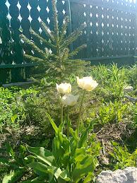 Фото.Тюльпаны