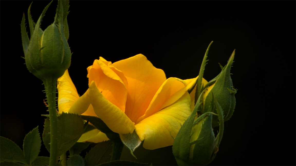 The Yellow Bush Rose.jpg