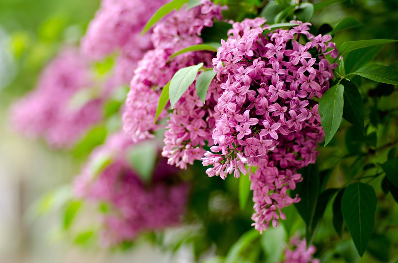 де цвіте бузок в україні