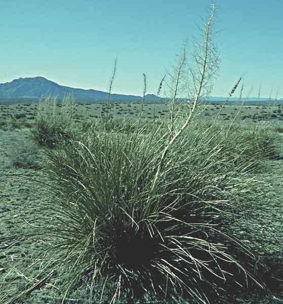 Beargrass, sacahuista