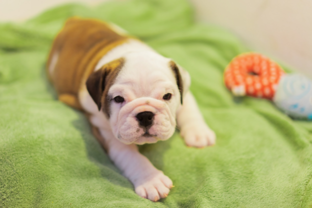 American Bulldog Ultimate Dog Breed Guide 2020 Pups4sale Breeders Links And Breed Information On Pups4sale Com Au