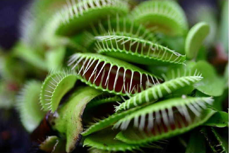 """A Venus Fly Trap plant with multiple """"mouths""""."""