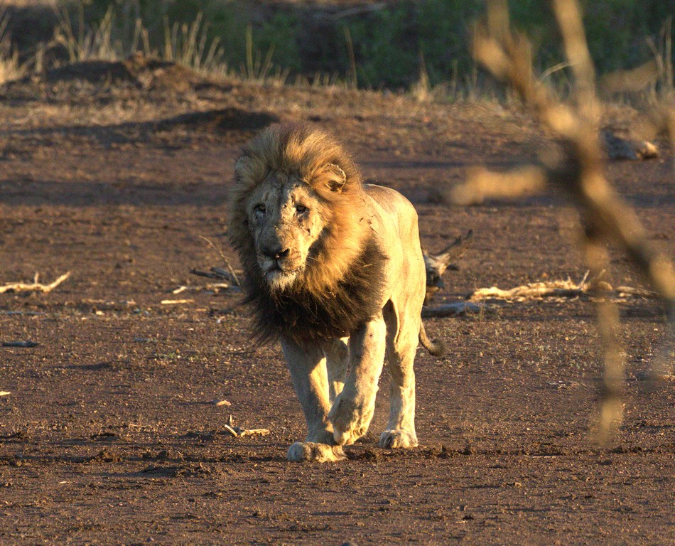 lion3 (Copy).jpg