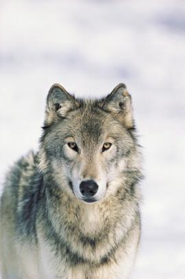 Wendy El Lobo Artico Animales En Peligro De Extinción