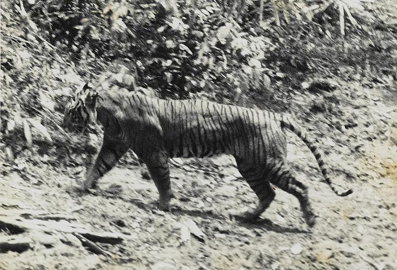800px-Panthera_tigris_sondaica_01.jpg